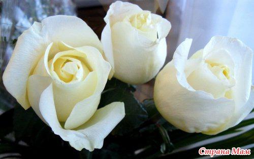 Белые розы для любимой фото