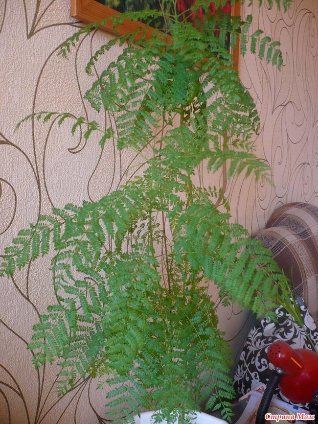 Жакаранд выращивание из семян 5