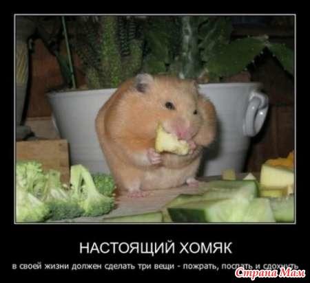 прикольные картинки хомяков: