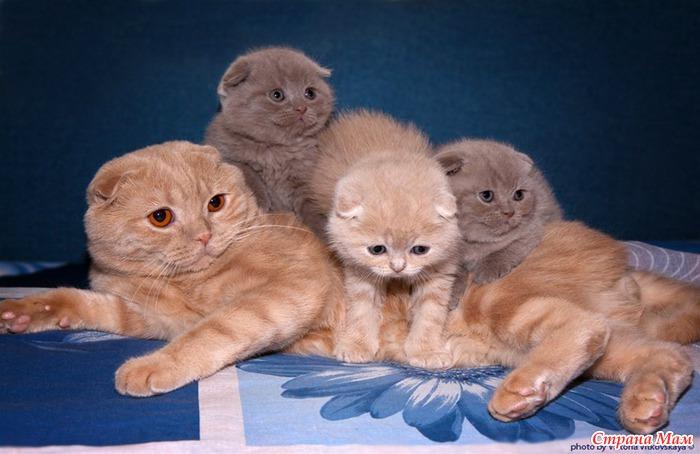 Уход за беременной вислоухой-шотландской кошкой