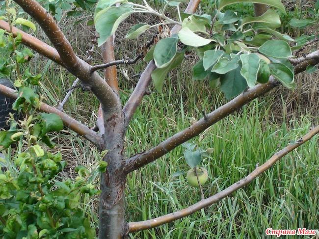 Поражает оно кору, скелетные ветки, листву и плоды