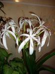Каталог домашние луковичные цветы фото и название