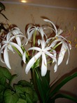 Комнатные цветы с луковицей фото