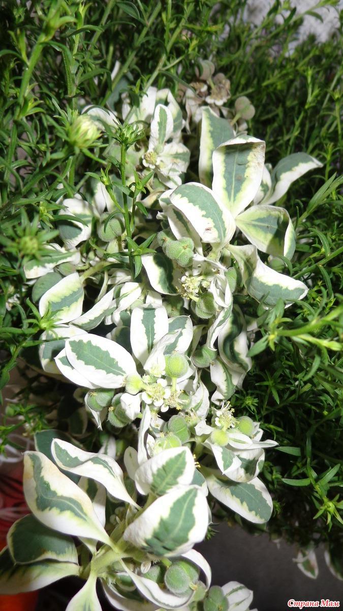 Цветок с бело зелеными листьями