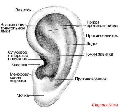 козелок уха что это такое фото