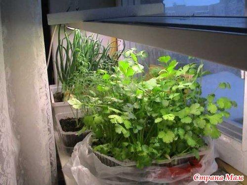 Как вырастить в домашних условиях кинзу