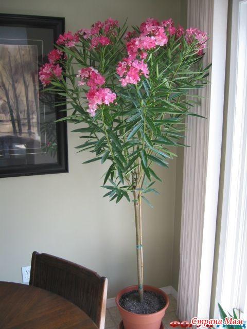 Комнатные цветы олеандр фото
