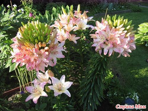 Лилии самые крупные сорта