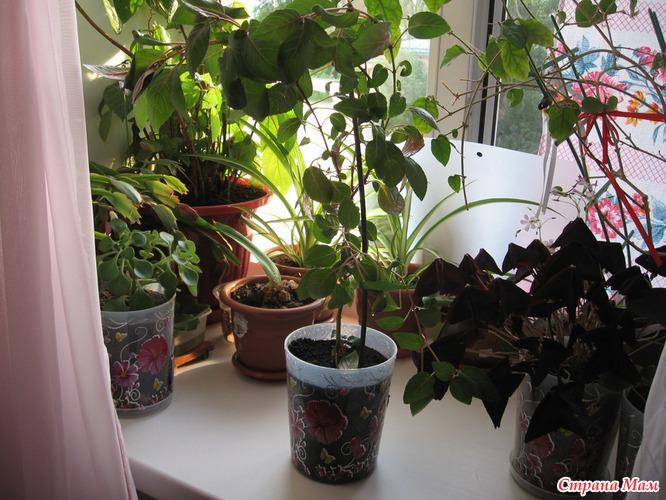 Фуксия комнатное растение