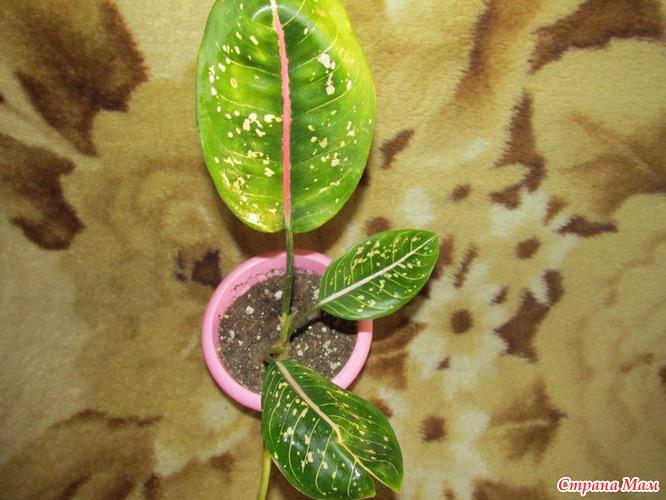 Ароидные комнатные растения