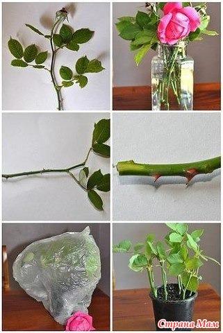 Как из срезанной розы вырастить розу