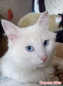 Роскошный белый кот в дар!
