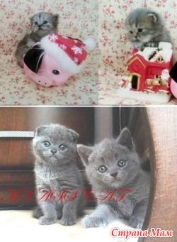 Домашние шотландские котята