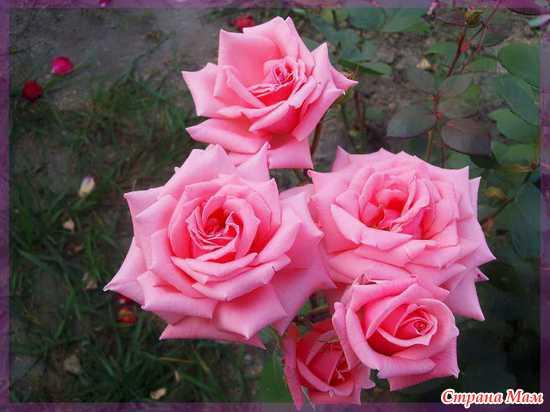 """Розы для всех мам """"СТРАНЫ МАМ"""""""