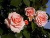 Роза - царица всех цветов