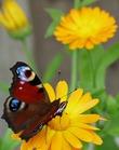 Бабочки не могут существовать без цветов, цветы невозможно представить без порхающих над ними бабочек. Это гармония природы. Без линз ACUVUE® гармония нарушается. Берегите зрение!
