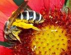 россыпи пыльцы на крыльях пчел