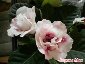 Глоксинии, неприхотливые цветы для лентяев.