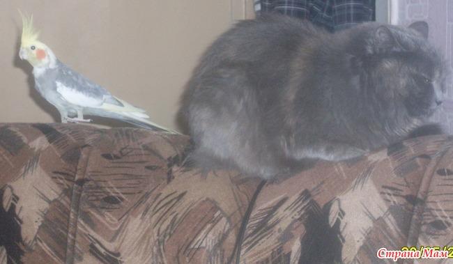 картинка корелла кошка