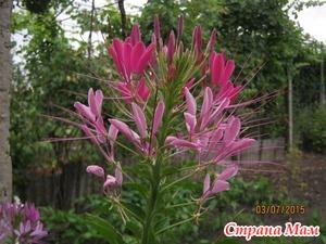 Цветок «Брызги шампанского» (клеома Хасслера).