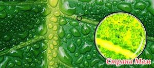 Уникальные свойства Хлорофилла