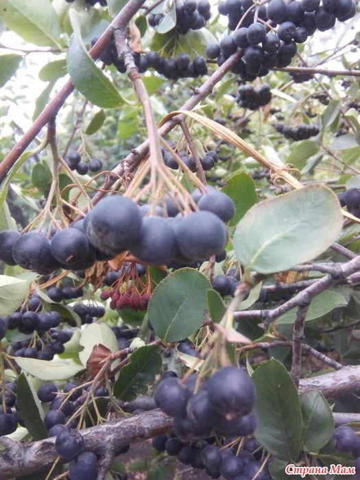 Что можно сделать из черноплодной