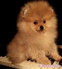 продам щенка померанского шпица-миниатюрного