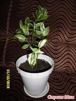 Продам комнатное растение Педилантус .