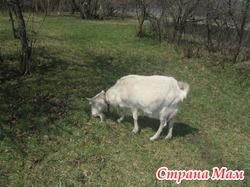 Подарю козу