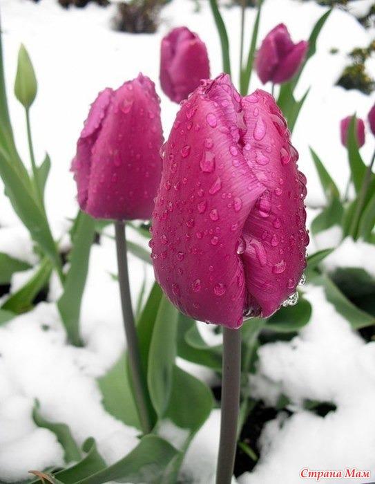 Картинки тюльпаны зимой