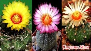 Астрофитум (звездный кактус) и Эхинокактус Грусона – выращивание из семян, уход в домашних условиях