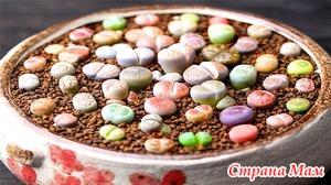 Литопс, живой камень — выращивание из семян и уход в домашних условиях